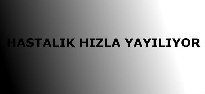 HASTALIK HIZLA YAYILIYOR!
