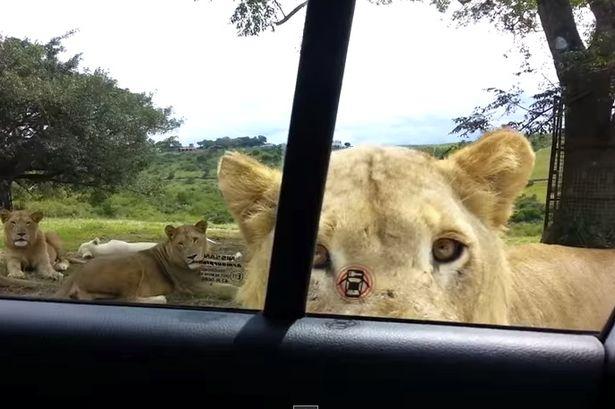Aslan arabanın kapısını açınca safari keyfi kabusa döndü