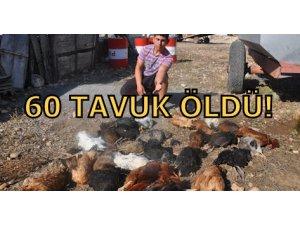 60 TAVUK ÖLDÜ!