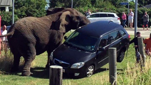 Fil, eziyet eden bakıcısının arabasını görünce...
