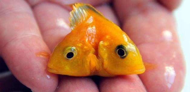 Çift başlı balık görenleri şaşırtıyor